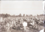 [Field of tobacco]