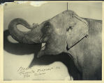Modoc. Favorite elephant on the circus